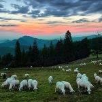 Narwiański Park Narodowy - owce
