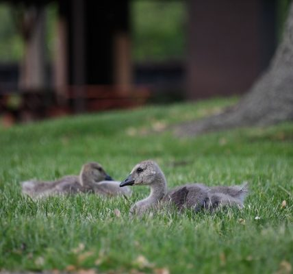 Kaczki w trawie