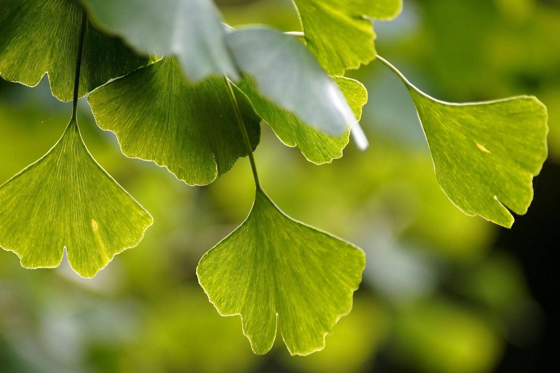 Miłorząb - liście