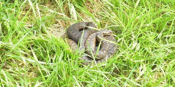 Żmija zygzakowata w trawie